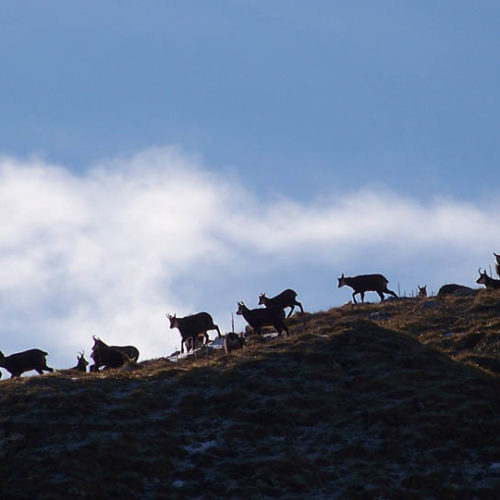 Groupe de chamois pendant le rut Instinctivement nature
