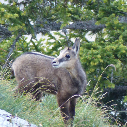 Cabri de chamois Instinctivement nature