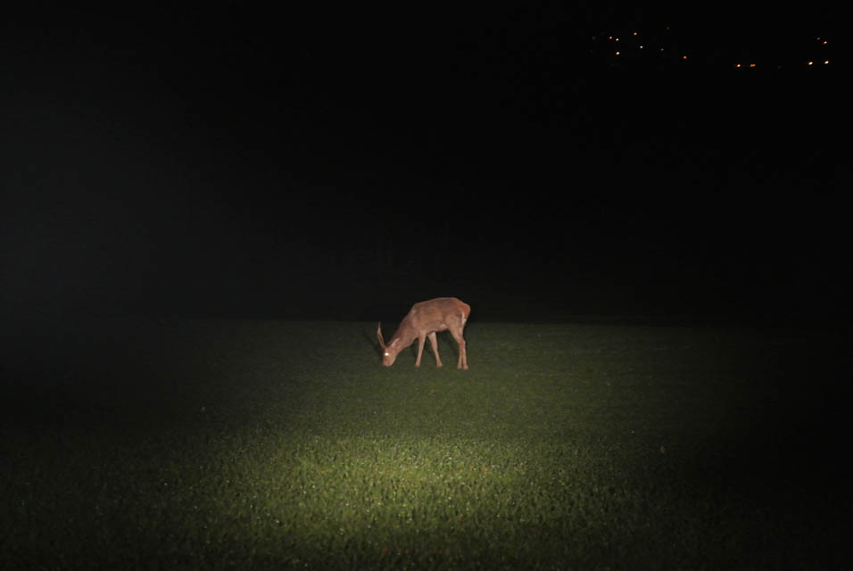 Cerf én comptage nocturne Instinctivement nature