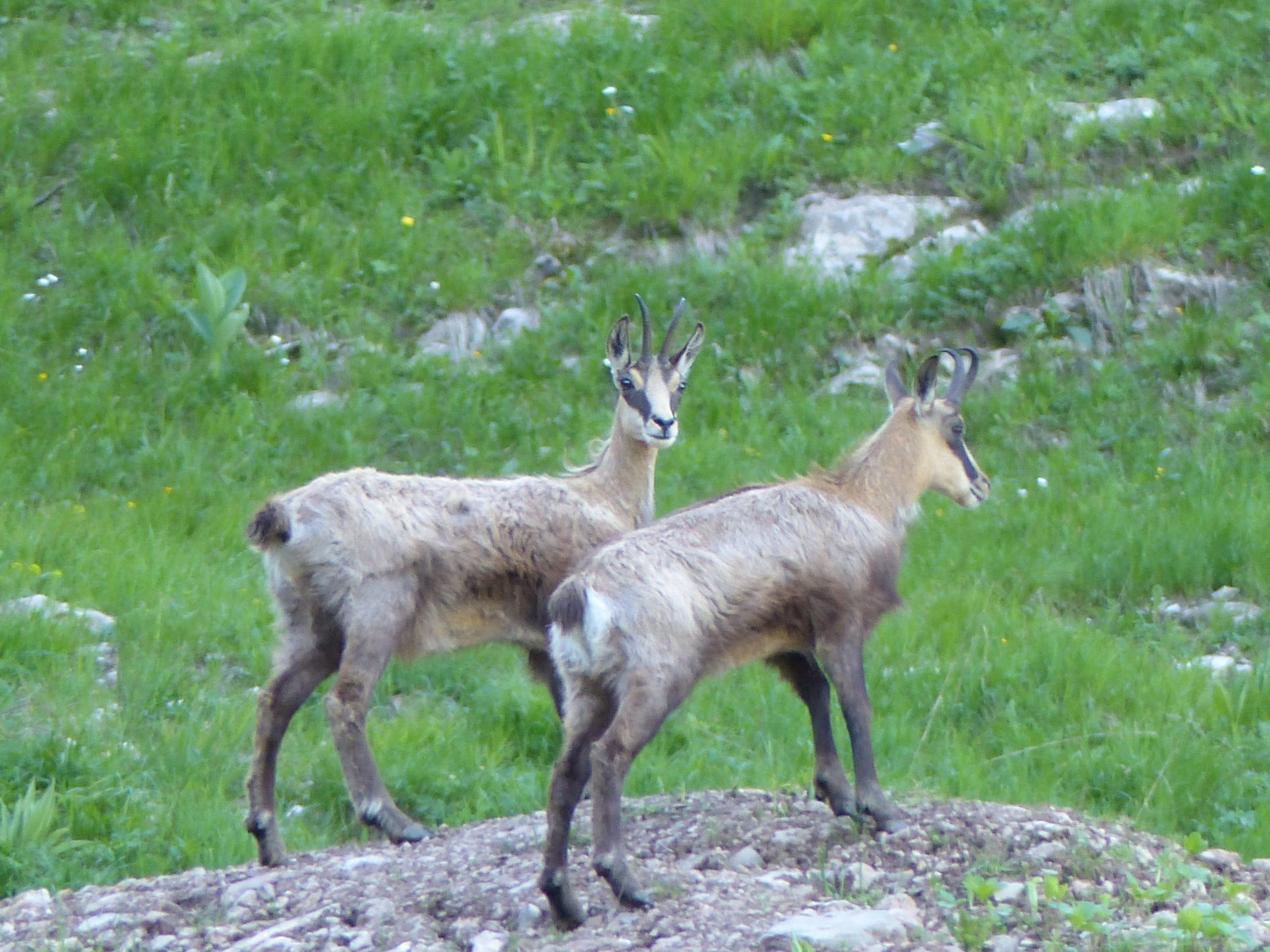Comptage chamois instinctivement nature